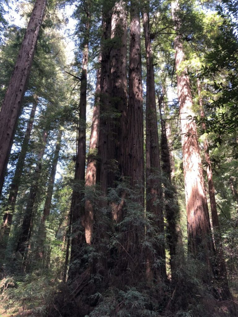 Henry Cowell State Park redwoods | Pacific Coast Highway Road Trip featured by top Boston travel blog, Feathers and Stripes